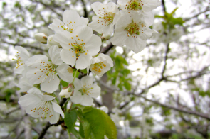 white blossoms Grace and Truth, Spring blossoms, Beautiful creation